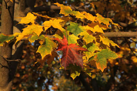 Colorful maple leaves hanging up on the maple tree branch on the background of multicolored leaves Stock Photo