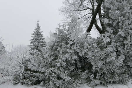 Snow covered coniferous and deciduous trees in the forest in winter in Lithuania. Landscape view