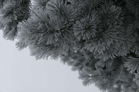 Snow covered fluffy pine branch in the suburbs of Kaunas in winter. Space for text Stock Photo