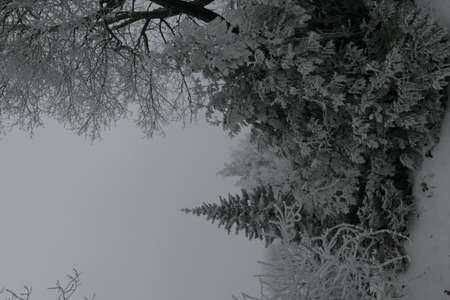 Frosty snow covered coniferous and deciduous trees in the forest in winter in Lithuania. Vertical view