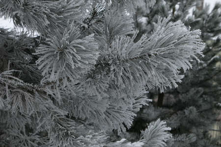 Closeup of a fluffy pine branch in the background of snow covered coniferous trees in winter in Lithuania
