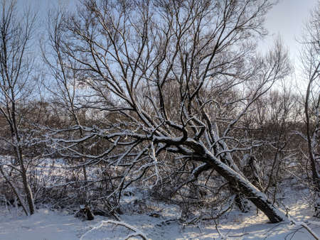 Snow covered bare bending deciduous tree in the background of other leafless trees and bushes in winter. Landscape of Lithuania Stock Photo