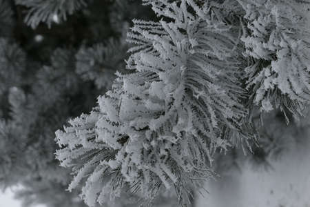 Closeup of frosty snow covered white pine branch in the background of nature in winter in Lithuania. Greetings card