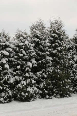 Snow covered coniferous trees in the background of the sky and the ground in winter in Lithuania. Vertical view