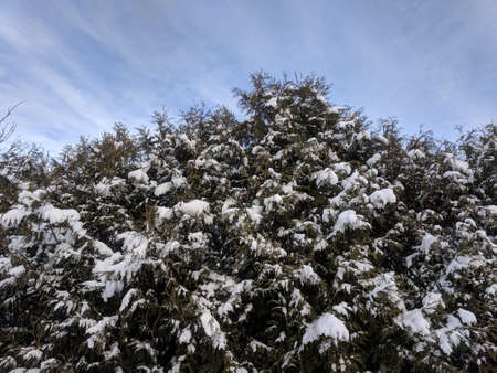Snow covered coniferous tree from below in the background of the blue sky on a frosty cold winter day in Kaunas, Lithuania Stock Photo