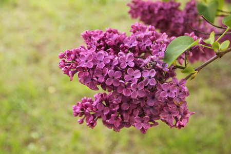 Close up of a branch of flowering  bush of violet four-lobed buds with green leaves common lilac in the background of green nature