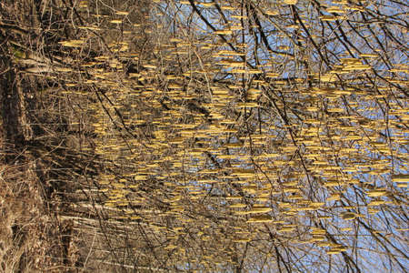 Many yellow hazel catkins hanging on hazel tree branches in the  background of blue sunny sky on an early spring day in Lithuania