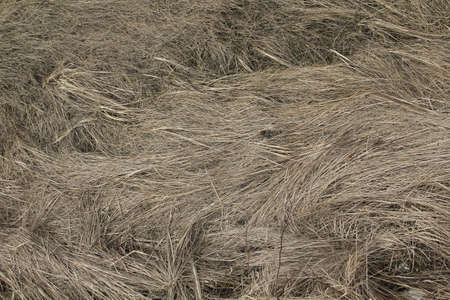 Pastel silver rough dry hay straws pattern texture background.