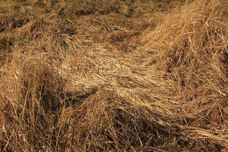 Golden rough wavy hay straws pattern texture background.