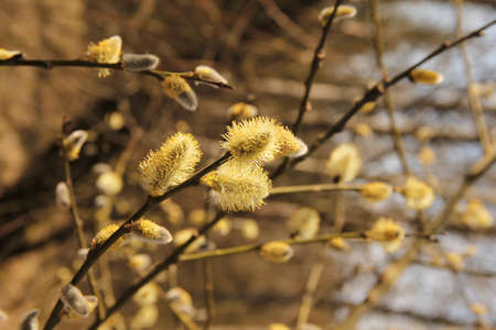 Yellow delicate soft catkins branch on a bright sunny spring day in the background of nature in Lithuania Stock Photo
