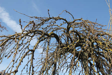 Bare deciduous leafless tree from perspective at low angle with clear blue sky in the background in the local Kaunas yard in spring, Lithuania Stock Photo