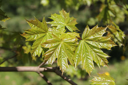 Maple tree branch with shiny leaves with the background of nature on spring day in Kaunas, Lithuania