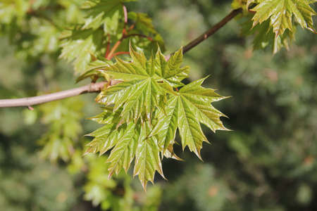 Closeup of maple tree branch with green shiny leaves with the background of nature on a spring day in Kaunas, Lithuania Stock Photo