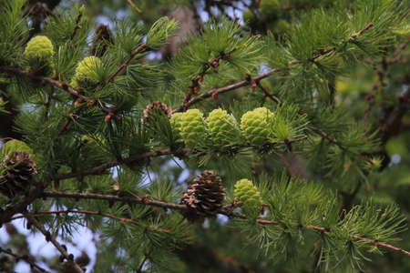 Branches of evergreen larch tree with green cones hanging on the background of blue sky on a summer day in Kaunas, Lithuania Stock Photo