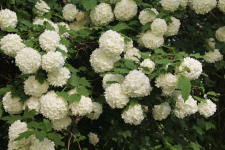 Bush of white hortensia blossoming flowers in the background of a bunch of many other flowers on the branches in bloom on a summer day in Kaunas, Lithuania Stock Photo