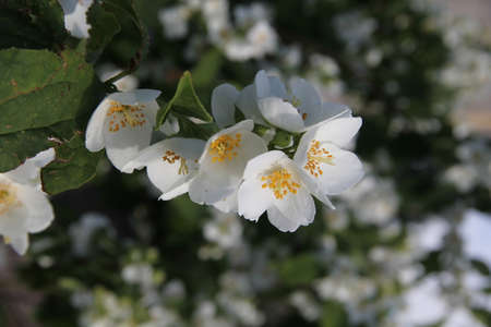White fresh mock orange blossoms on a branch in summer in Kaunas, Lithuania Stock Photo