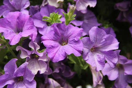 Purple petunia blossoms in the garden background in summer in Lithuania
