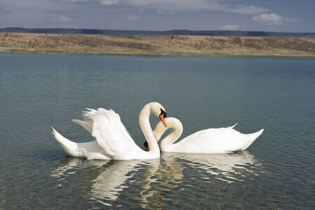 white swans on the pond are making love.
