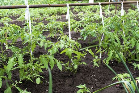 tied tomatoes grow in the garden. end of may.