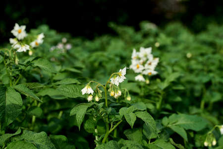 flowering bush potatoes on a green background Stock Photo