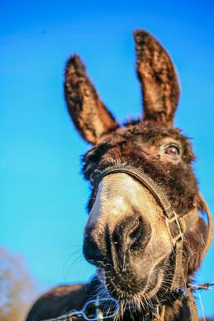 Head of funny donkey at blue sky close up Standard-Bild - 115195218