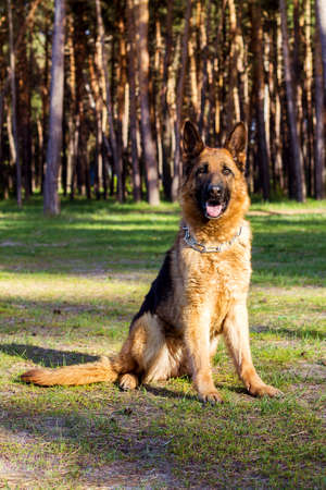 German shepherd on a walk in the Park Stock Photo