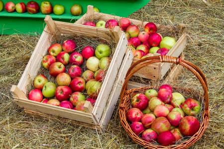 ripe apples lie in the garden wheelbarrow