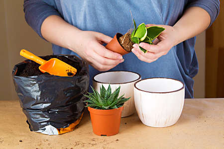 Woman's hands transplanting plant a into a pot.