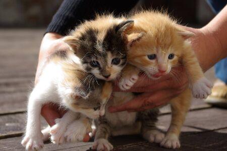 Careful hands picking up three kittens photo