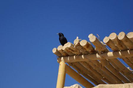 masada: Single black bird on wooden roof, Masada fortress, Israel