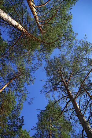 conifer: Pine trees from bottom to top Stock Photo