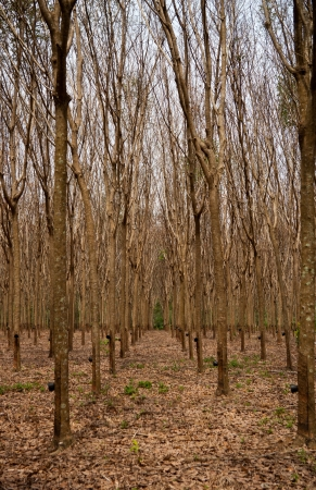 Rubber tree forest on island Phuket, Thailand Stock Photo - 17878588
