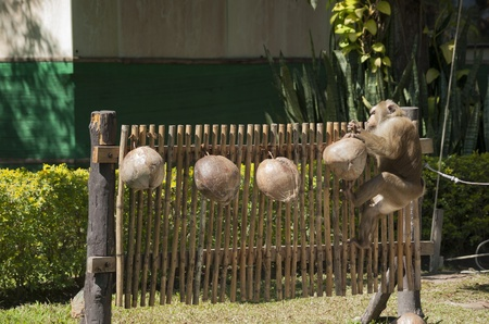 Monkey picks up a coconut nut from a fence Stock Photo - 19377522