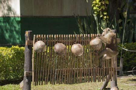 monkey nut: Monkey picks up a coconut nut from a fence