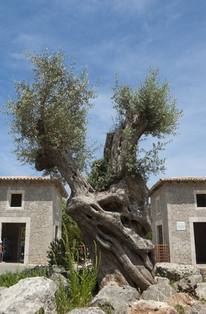 Old olive tree at Santuari de Lluc - monastery on Mallorca, Spain photo
