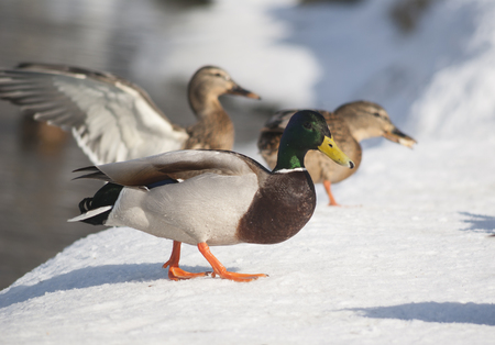 Mallard ducks in the winter photo