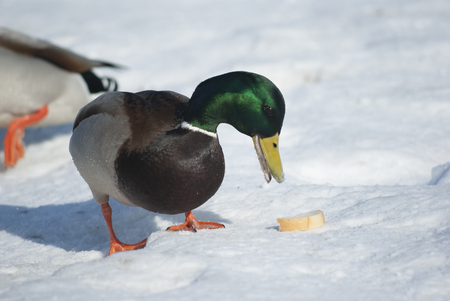 Mallard duck eating the bread photo