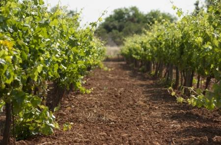 Green vineyard on Mallorca, Spain photo