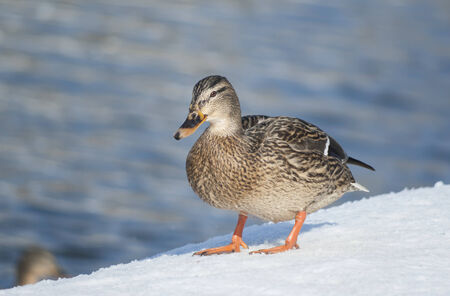 Lonely mallard duck standing on the snow photo