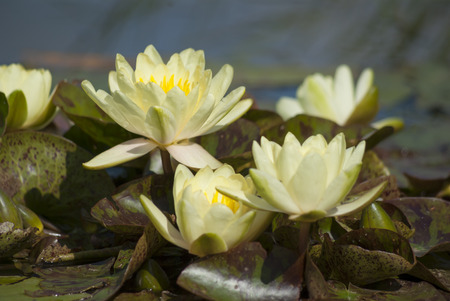 watergarden: White yellow waterlily in the pond
