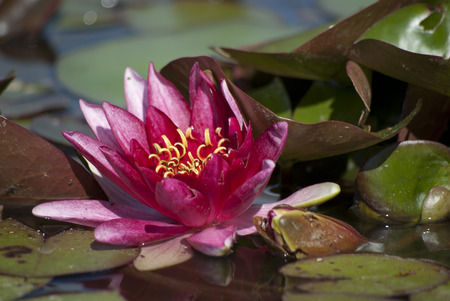watergarden: Pink waterlily in the pond