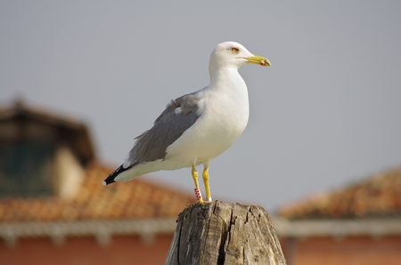 Seagull standing on a wooden post in Venice, Italy photo