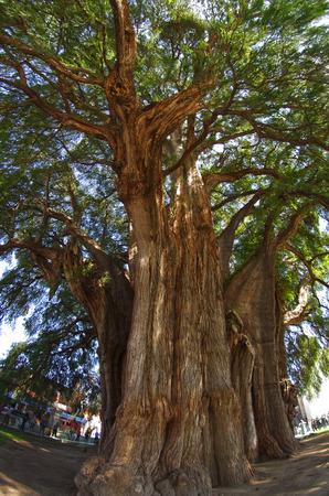 oaxaca: Tree of Life - stoutest trunk of any tree in the world, state of Oaxaca, Mexico Stock Photo