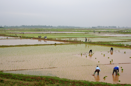 Vietnamese farmers transplant rice seedlings on the plot field photo
