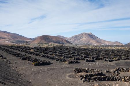 viñedo: Típica viña en La Geria, Lanzarote, Islas Canarias, España
