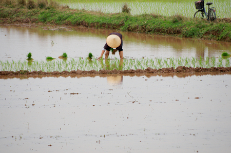 transplants: Vietnamese farmer transplants rice seedlings on the plot field