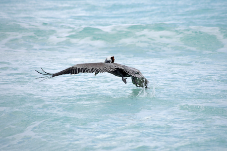 cancun: Pelican flying over Caribbean sea, Cancun, Mexico Stock Photo