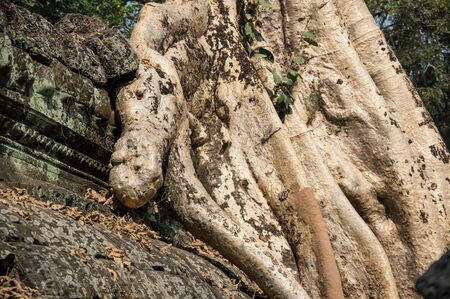 strangler: Tree roots growing through the ruins of Ta Prohm Temple at Angkor Wat in Cambodia