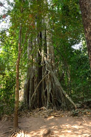 strangler: Rain forest at sunny day in Cambodia, south-eastern Asia