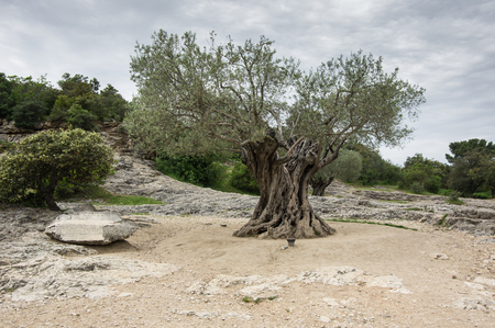 luberon: Old olive tree at Provance, southern France Stock Photo